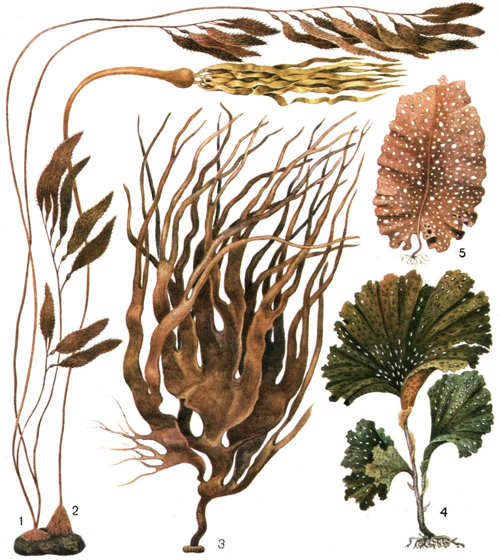 Строение слоевища бурых водорослей [1977 - - Жизнь растений. Том 3 ...