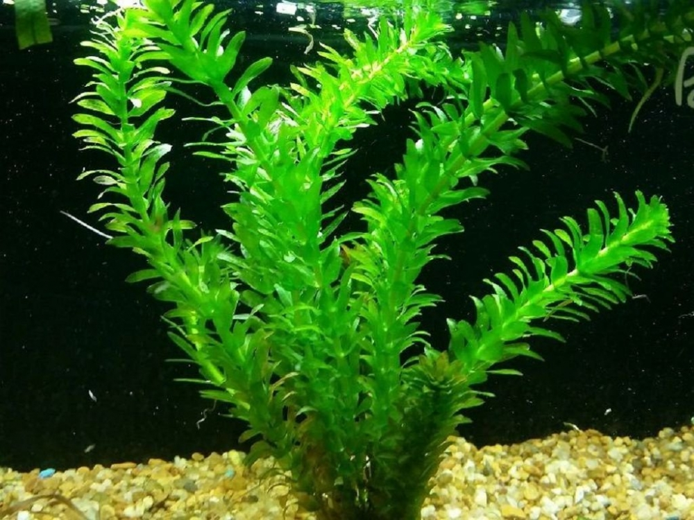 Элодея: фото и виды, размножение и уход за растением