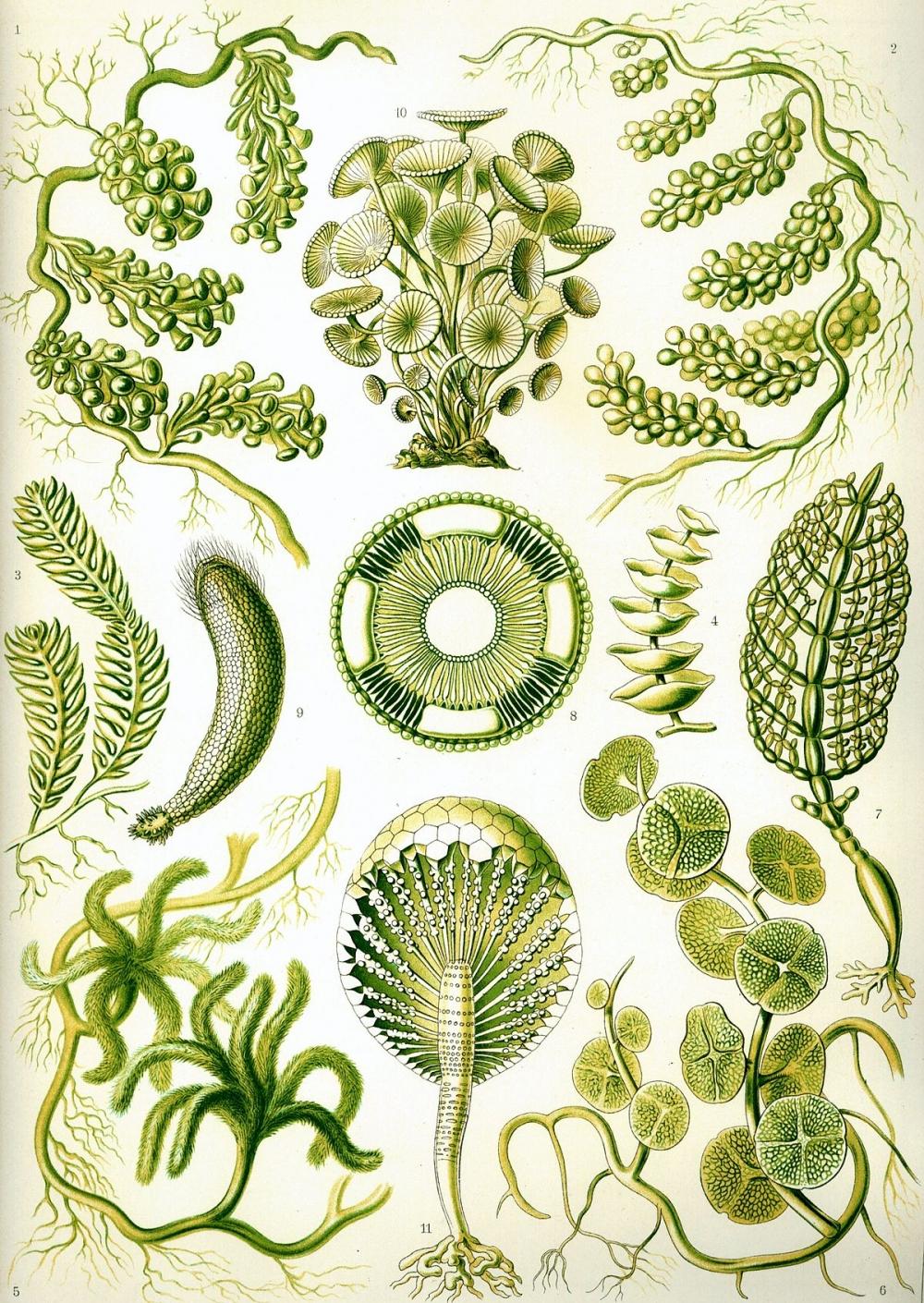Зеленые водоросли — Википедия
