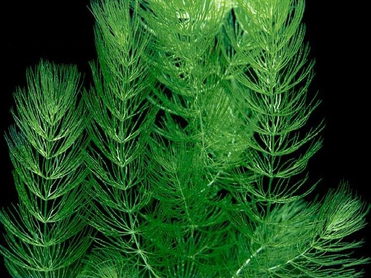 РОГОЛИСТНИК СВЕТЛО ЗЕЛЕНЫЙ (Ceratophyllum submersum) » Домашний аквариум