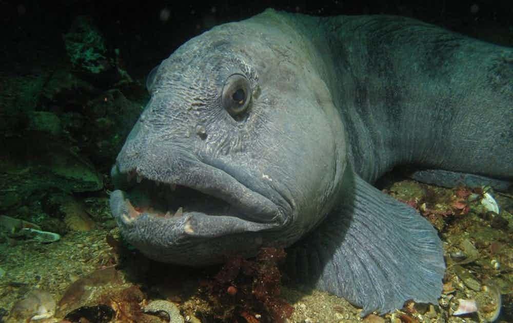 аквариумные рыбки хищники