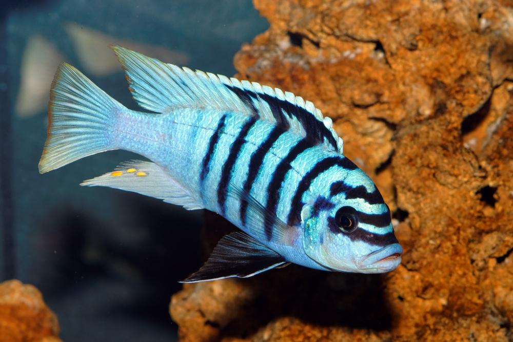 хищные аквариумные рыбки фото с названиями