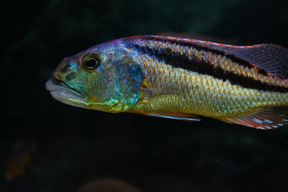 хищные рыбы для аквариума