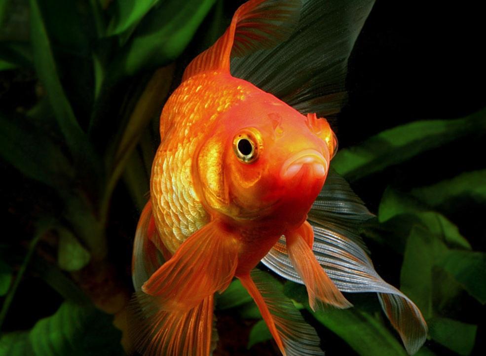 Купите золотых рыбок от 40 рублей!