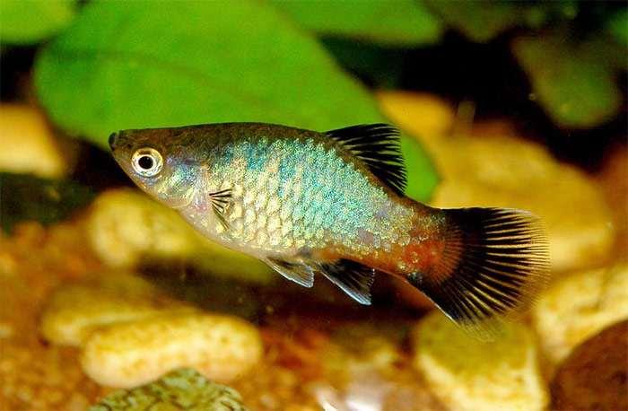 Пятнистая пецилия (Xiphophorus maculatus) фото, активные рыбки ...