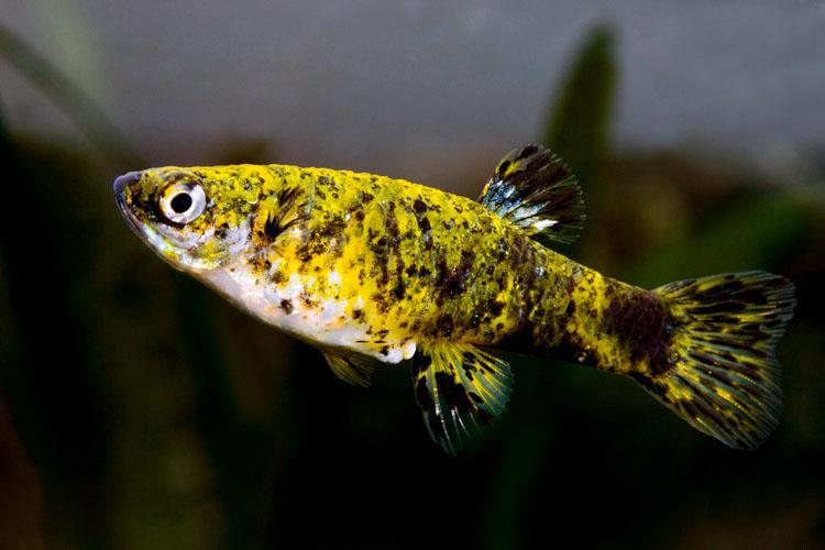 Гирардинус (Phalloceros caudimaculatus)