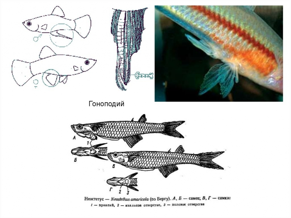 Зоология позвоночных. Костные рыбы. (Лекция 6) - online presentation