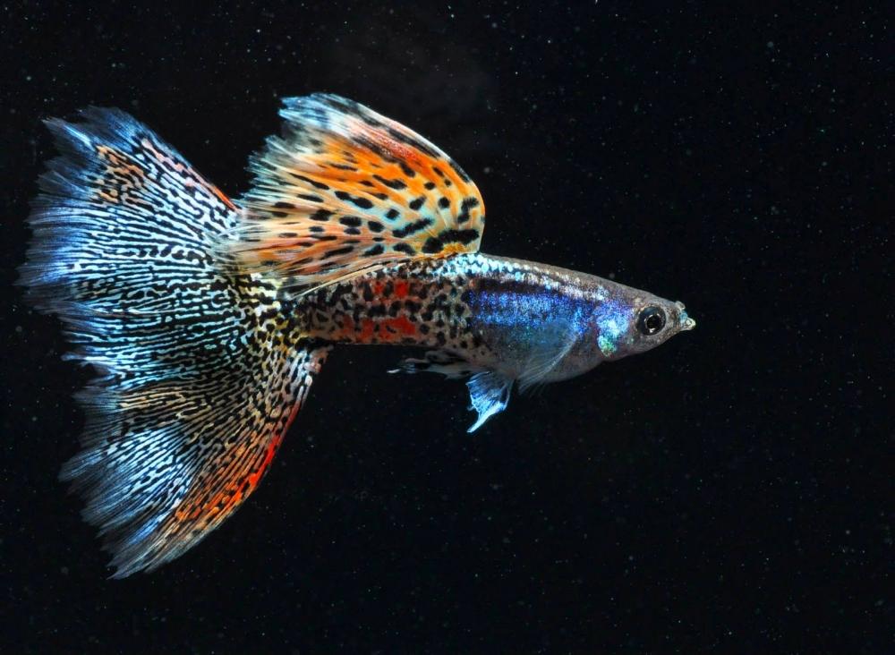 живородящие рыбы список