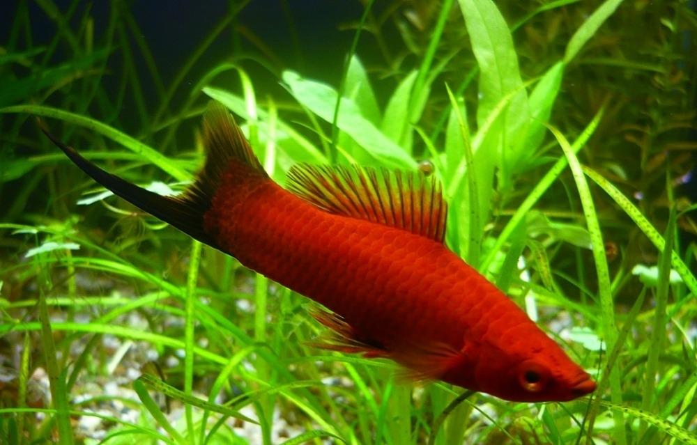 Меченосец Берлинский - величественная и неприхотливая рыбка для ...