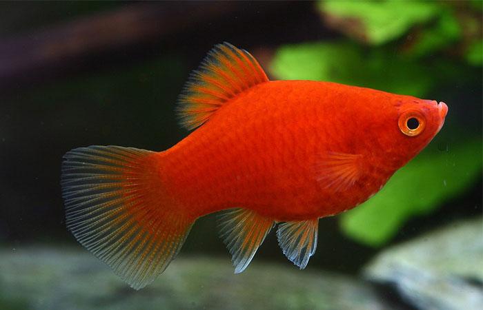 Аквариумная рыбка пецилия. Содержание, уход | Akvasik.ru