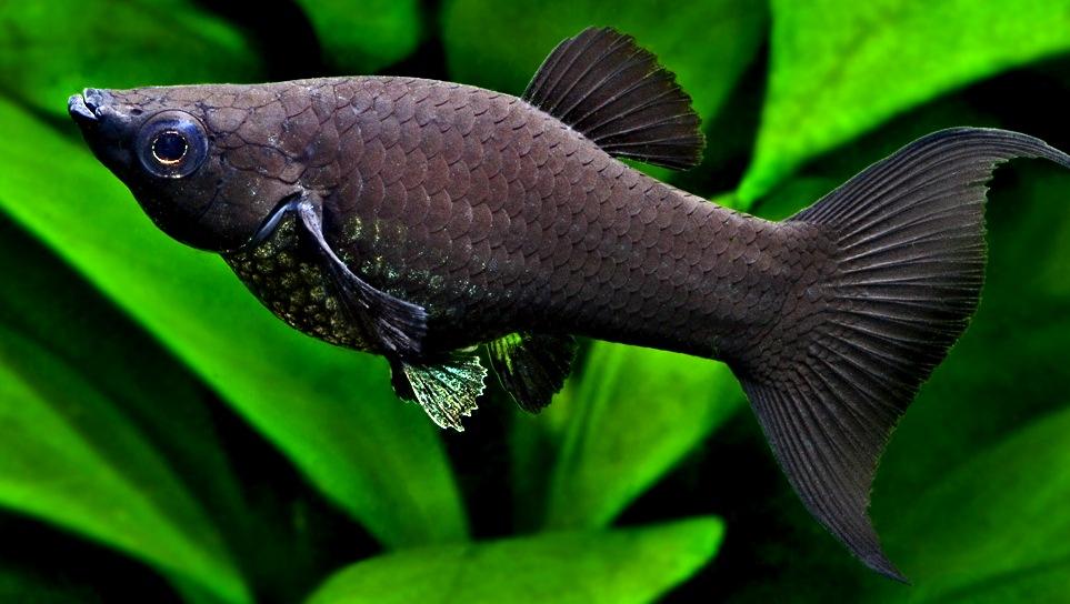 Статья - чудеса селекции и декоративные рыбы - Marlin Aquarium