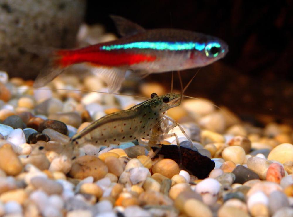Можно ли заселять креветок и рыбок в один аквариум и как правильно ...