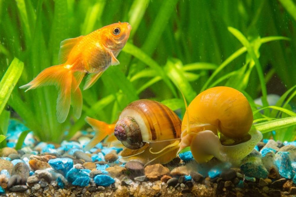 7 видов аквариумных улиток: какие лучше чистят, чем питаются, для ...