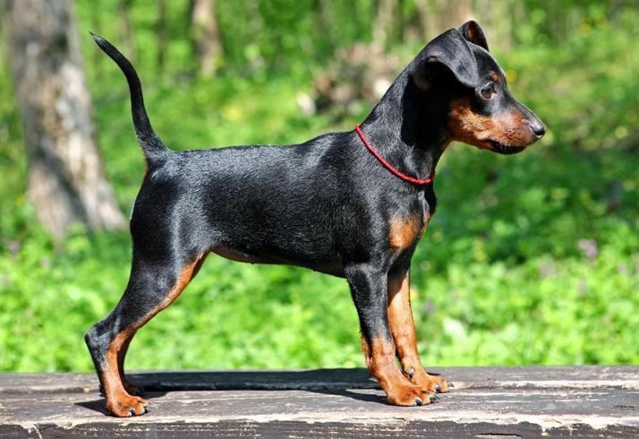 короткошерстные породы собак