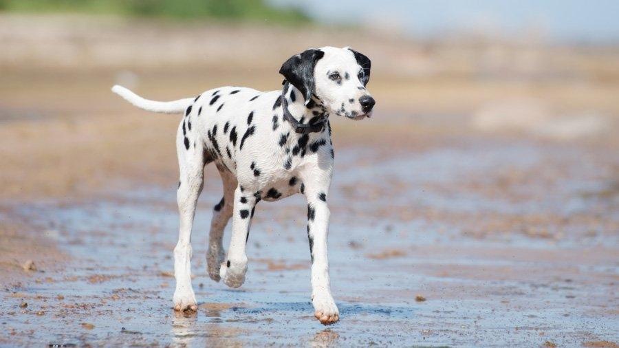 маленькие гладкошерстные породы собак