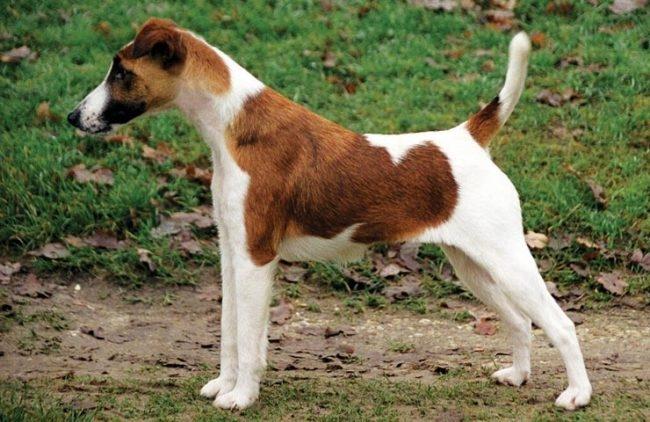 собаки с короткой шерстью