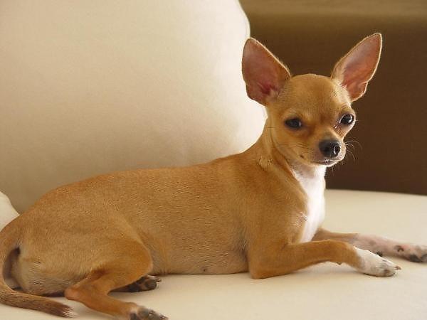 гладкошерстные породы собак среднего размера