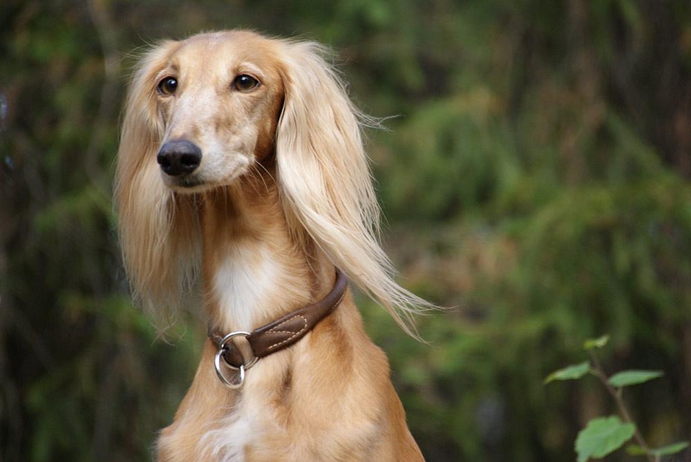 салюки порода собак фото