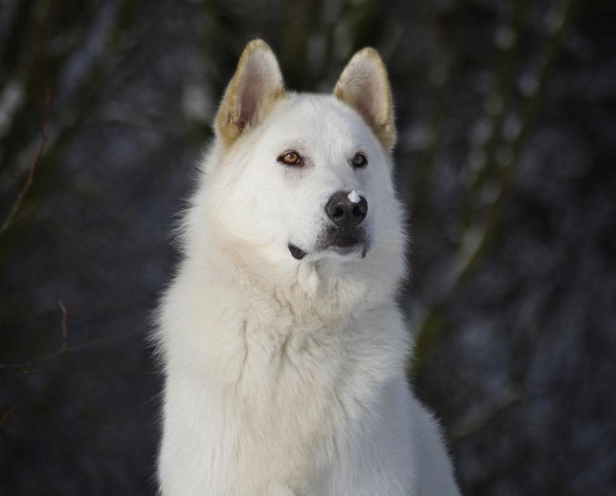 лютоволк порода собак