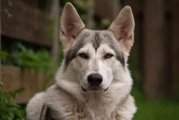 собака похожая на волка