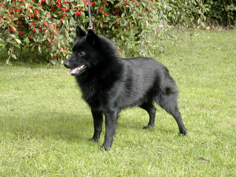 шипперке собака
