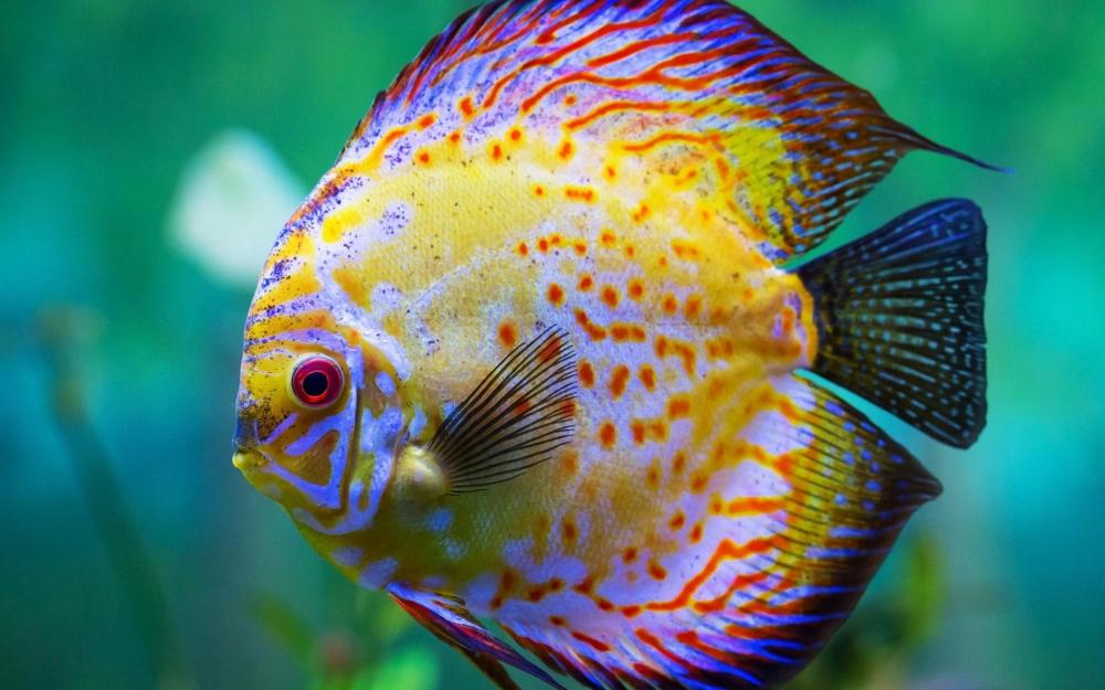 Дискусы. Содержание и кормление рыбок