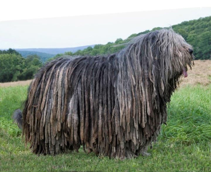 венгерская пастушья овчарка