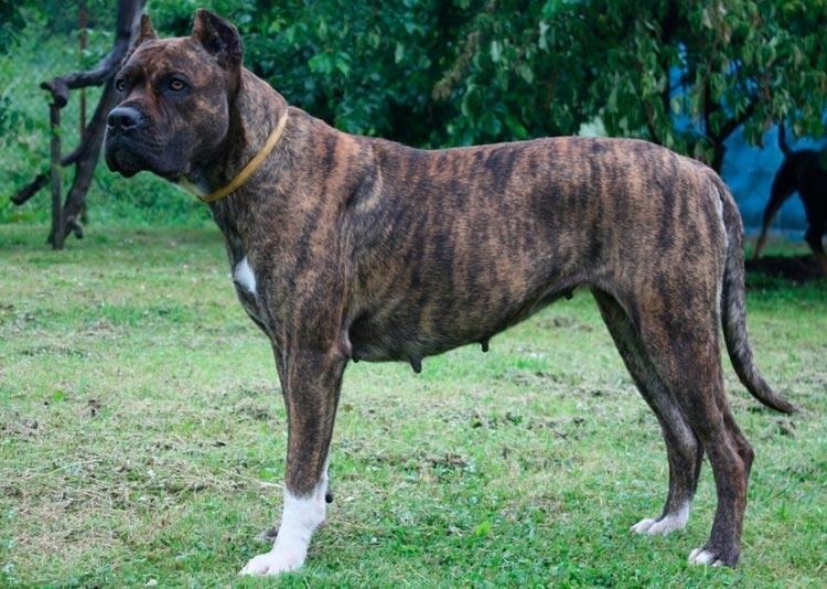 аланская порода собак