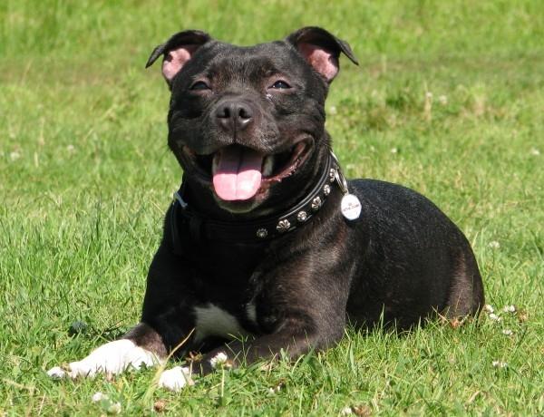 порода собак американский стаффордширский терьер фото