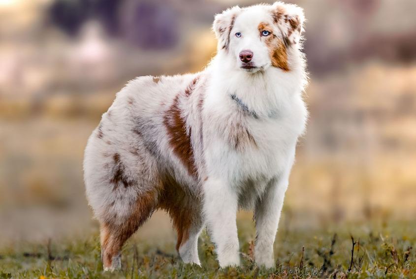 австралийская овчарка описание породы