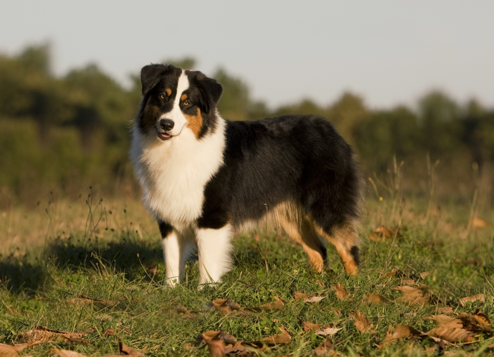 австрийская овчарка