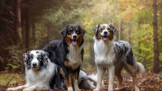 аусси собака