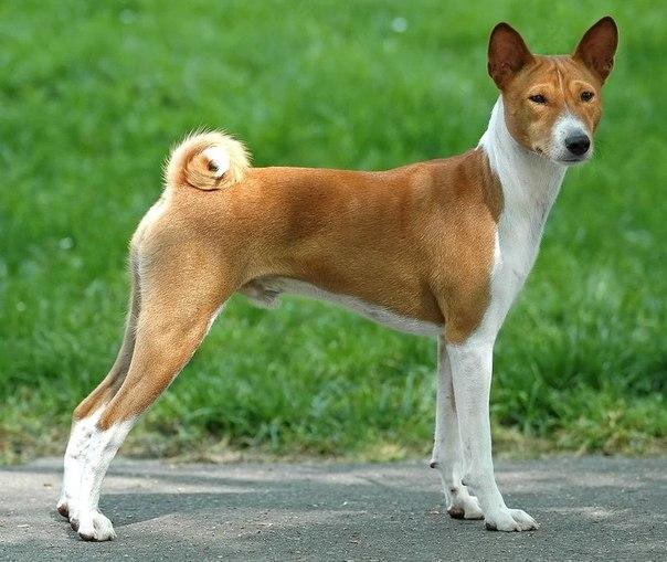 бэсинджер собака
