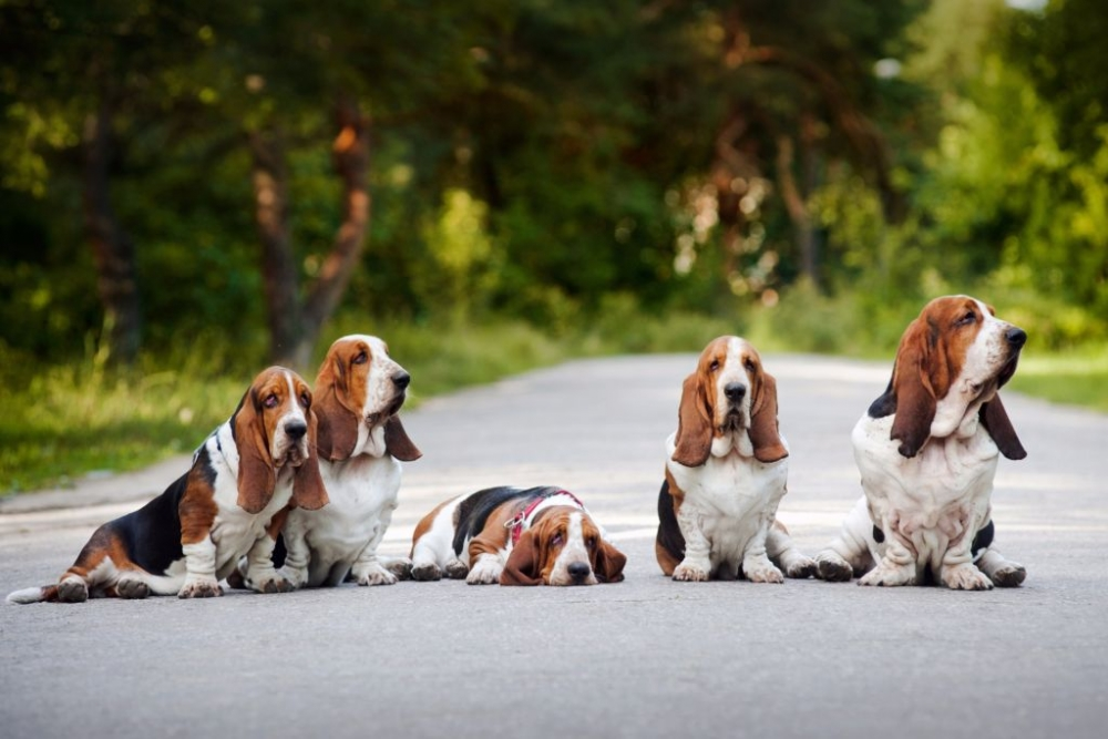 порода собаки бассет хаунд