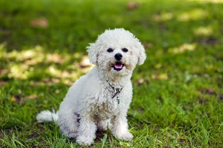 бишон фризе фото взрослой собаки