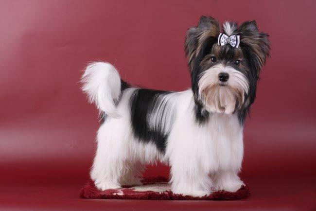 собака шарлотты йорк порода