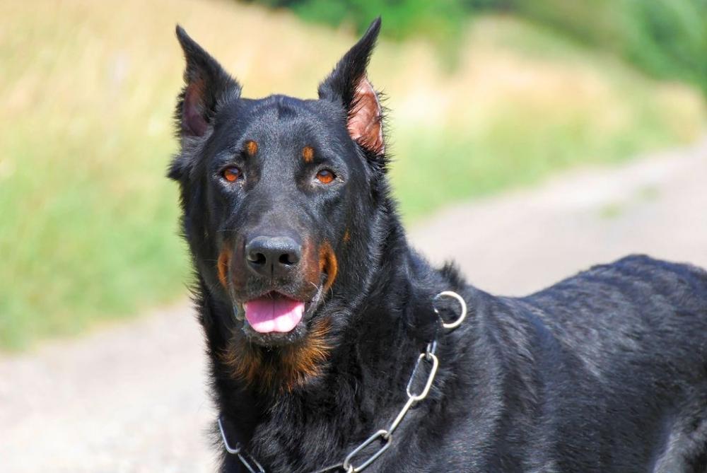 французская пастушья собака