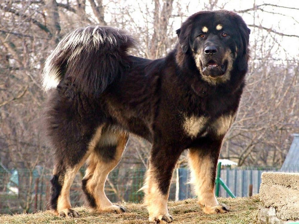 виды бойцовских собак