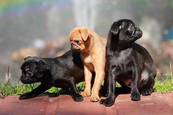 пти брабансон фото взрослой собаки