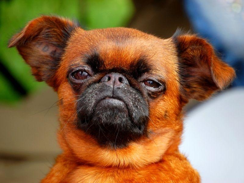 брабансон порода собак