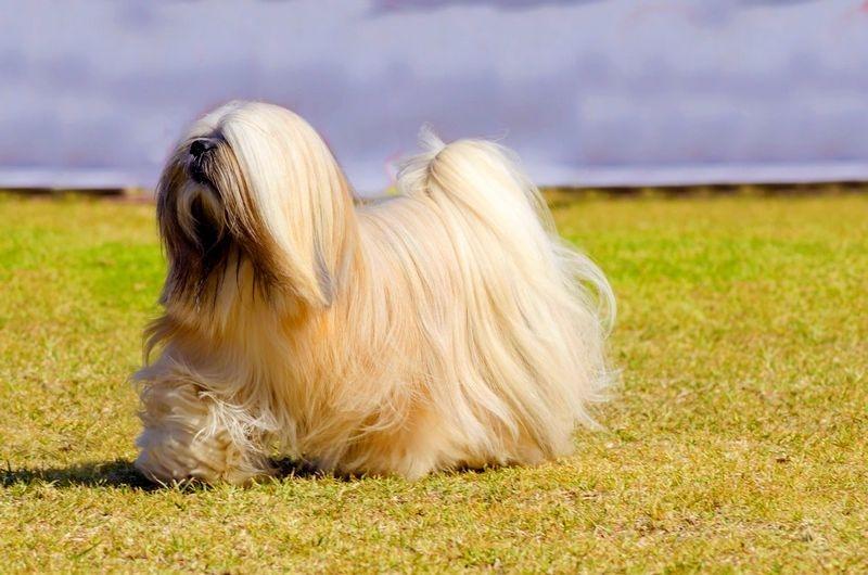 декоративные породы собак с фотографиями и названиями
