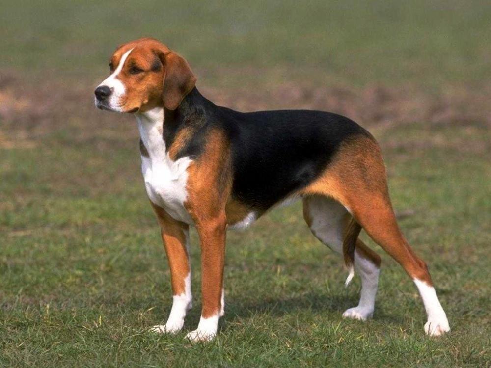 эстонка собака