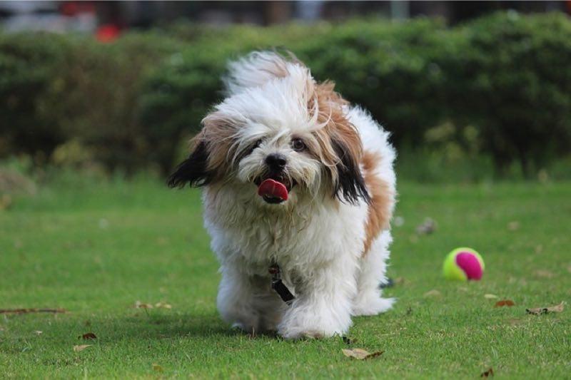собаки для аллергиков и астматиков