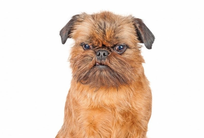 грифон собака фото бельгийский