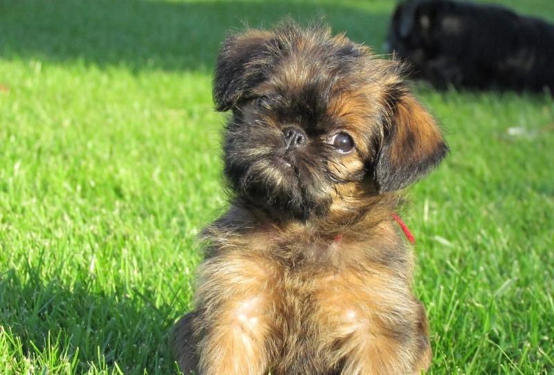 гриффон порода собаки фото