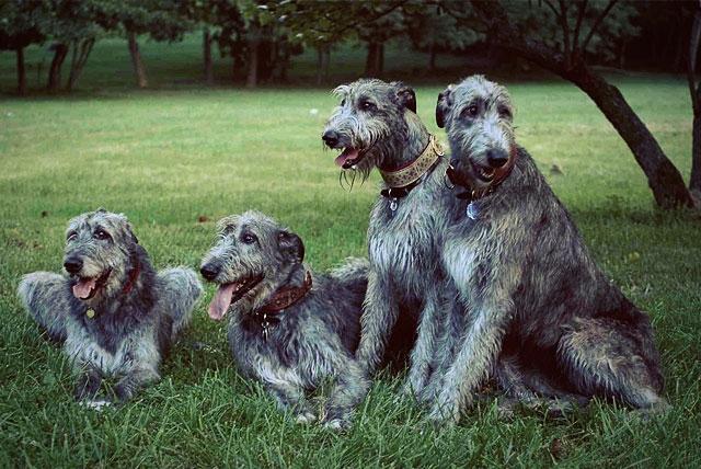 ирландский волкодав щенки