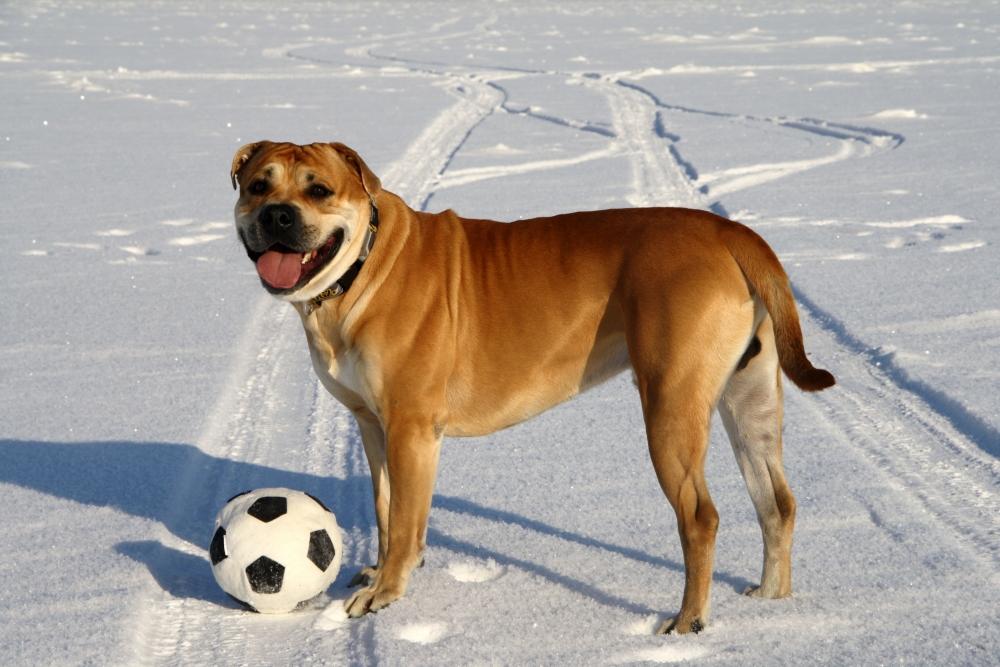 Кадебо собака фото