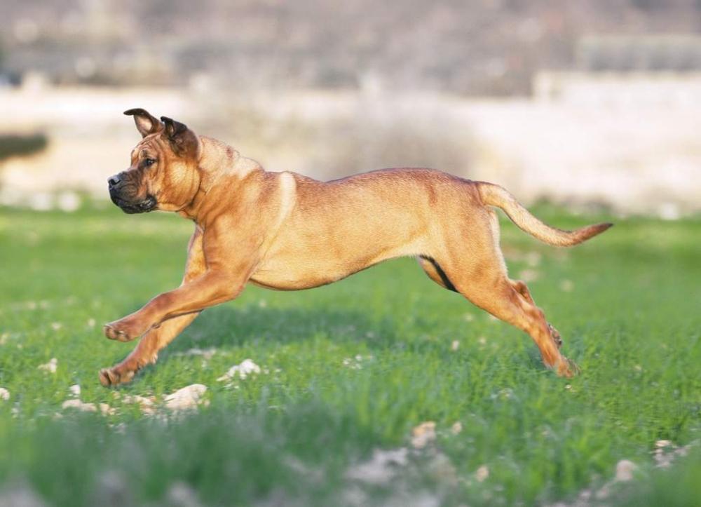 Собака Кадебо