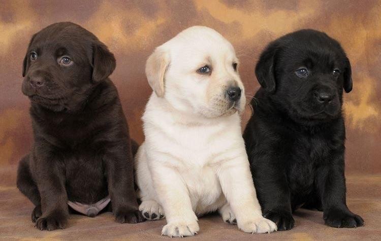определить породу собаки по щенку