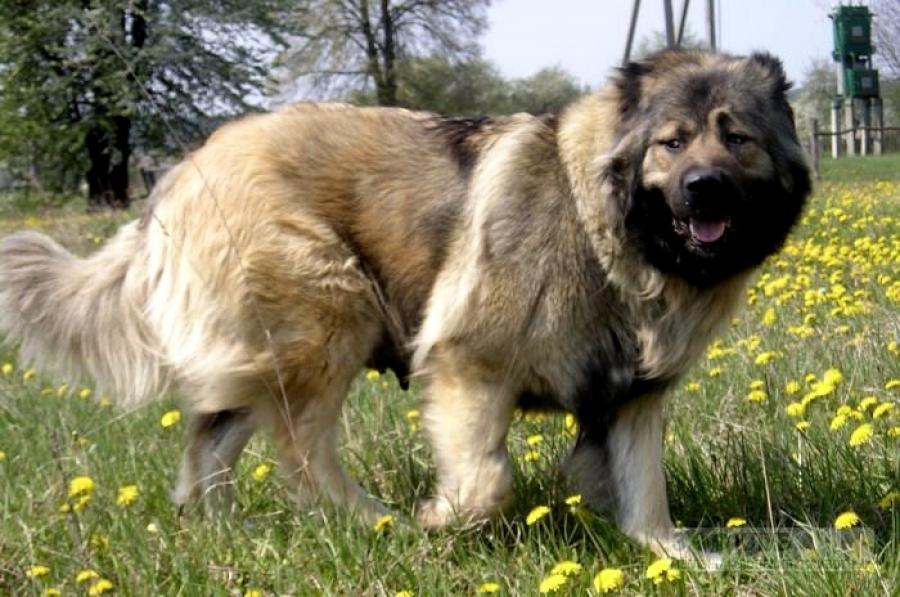 кавказская овчарка характеристика породы